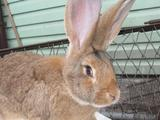 Кролики самцы крупных мясных пород Фландр, Великан