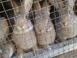 Продам крупных кролей фландер и серый великан